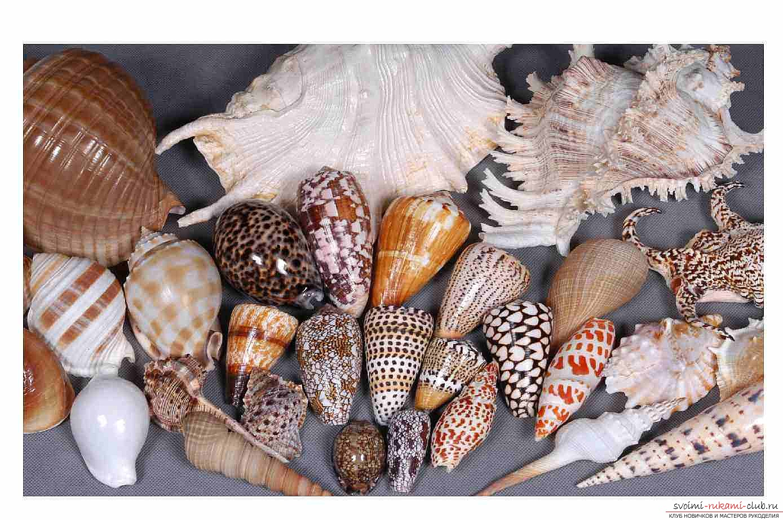 отличаются разновидности название морских ракушек с картинками интернете