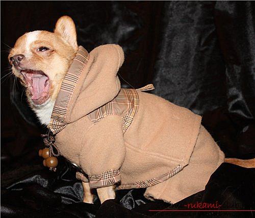 Одежда для собак породы чихуахуа, сшитая своими руками. Фото и идеи моделей одежды.. Фото №2